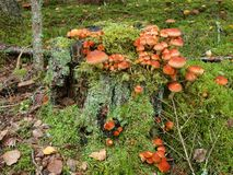 Mushrooms are growing on a stump in the forest Stock Photography