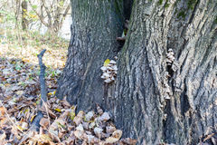 The mushrooms growing on a tree in the park in sunny autumn day Royalty Free Stock Photo