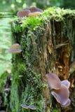 Mushrooms growing on a tree stump. Mushrooms growing on a mossy tree stump Royalty Free Stock Photo