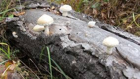 Mushrooms growing on the trunk stock footage