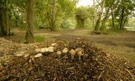 Mushrooms growing on woodchip. stock photo