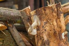Mushrooms on tree Royalty Free Stock Photos
