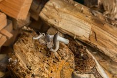 Mushrooms on tree Royalty Free Stock Images