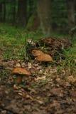 Mushrooms in habitat Stock Photos