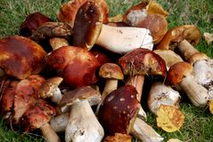 Mushrooms Harvest Royalty Free Stock Photos