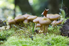 Mushrooms hidden in the forest litter Stock Images