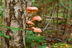 Mushrooms, honey agaric, tree, parasite, fall, collect. Large mushrooms honey agaric growing on a tree stock image