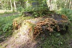 Mushrooms honey agarics on the stump royalty free stock photos
