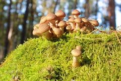 Mushrooms honey agarics on a tree stump Royalty Free Stock Photo