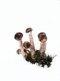 Mushrooms. Honey fungus on a white background. Stock Images