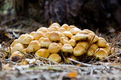 Mushrooms Hypholoma Royalty Free Stock Images