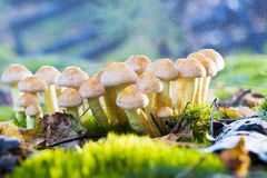 Mushrooms - Hypholoma fasciculare Royalty Free Stock Image