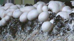 Mushrooms in the industry. The mushroom farm stock video
