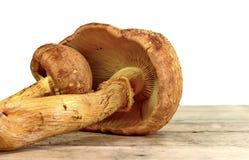 Mushrooms isolated on white. Beautiful mushrooms isolated on white Royalty Free Stock Photos