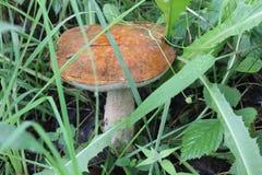 Mushroom Boletus in the forest, Ivanovo region. royalty free stock image