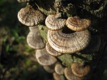 Mushrooms. Kluang - November 2012 Brown shell mushrooms growing on a old log royalty free stock image