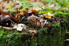 Mushrooms (kuehneromyces lignicola). Growing on a mossy tree trunk Stock Images