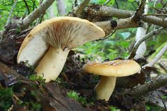 Mushrooms Lactarius. And bled timber Royalty Free Stock Photography