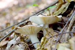 Mushrooms. Leaf mushrooms forest land nature Stock Images