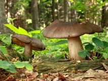 Mushrooms in leaf litter Royalty Free Stock Photos