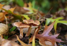 Mushrooms in leaf litter. Honey Fungus. Royalty Free Stock Photography