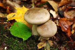 Mushrooms and leaves. Beautiful mushrooms and colorful leaves in the forest Royalty Free Stock Images