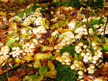 Mushrooms and leaves in autumn Royalty Free Stock Photography