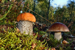 Mushrooms leccinum versipelle and boletus edulis Stock Photo