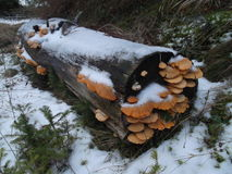 The Mushrooms on the log. The orange mushrooms on the snow covered log stock images