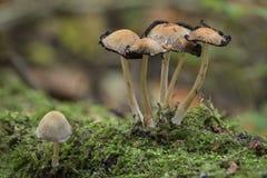 Mushrooms on a log Stock Photography