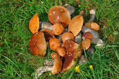 Mushrooms lying on a grass. Crop of mushrooms on a grass stock photos