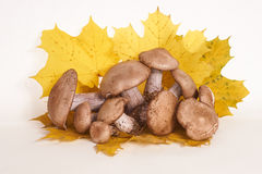 Mushrooms with maple leaves Stock Photo