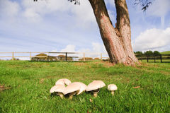 Mushrooms in a meadow Royalty Free Stock Images