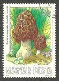 Mushrooms, Morchelia esculenta Stock Photography