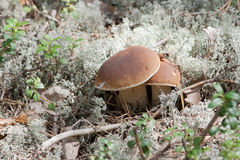 Mushrooms in the moss. Two mushrooms in the moss Royalty Free Stock Photography