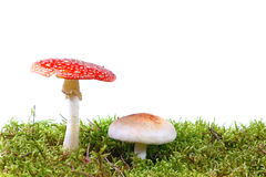 Mushrooms in moss. Two mushrooms in moss against white background Stock Photo