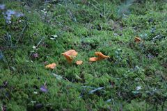 Mushrooms in the moss royalty free stock photo