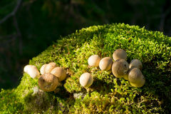 Mushrooms. On the moss clod. Lycoperdon pyriforme - commonly known as the pear-shaped puffball or stump puffball Royalty Free Stock Photo