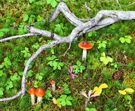 Mushrooms and moss on the forest floor Royalty Free Stock Photography