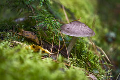 Mushrooms and moss. Royalty Free Stock Photography