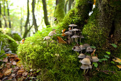 Mushrooms on moss. Some mushrooms growing from moss in a moisty beech forest. Typical Autumn image Royalty Free Stock Photo