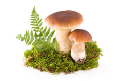 Mushrooms with moss Stock Images