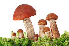 Mushrooms in moss on a white background Stock Photography