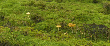 Mushrooms at the mossy forest floor Royalty Free Stock Photo