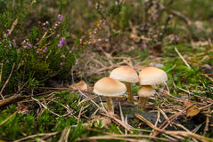 Mushrooms on mossy green meadow Royalty Free Stock Photo