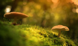 Mushrooms on the mossy ground Royalty Free Stock Images