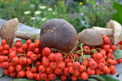 Mushrooms and mountain ash Stock Image