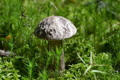 Mushrooms mushroom moss forest vegetation Royalty Free Stock Photo