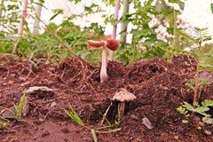 Mushrooms. Spore-bearing fruiting body of a fungus, basidiomycetes fungi Royalty Free Stock Photo
