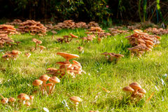 Mushrooms in my garden, Honey Fungus Stock Photo